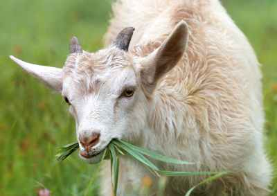white goat eating grass during daytime